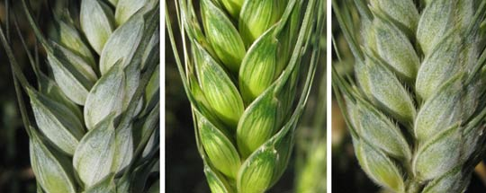 Observed diversity of durum wheats (T. durum) and wild related © BOULAT Emmanuelle / DIDIER Audrey / INRA